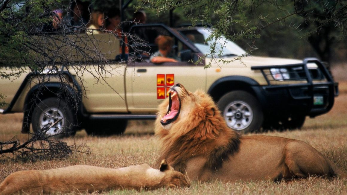 game-drive-lion